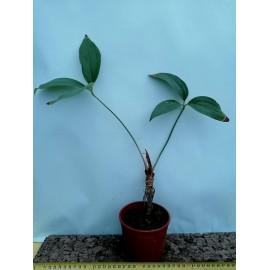 Anthurium triphyllum