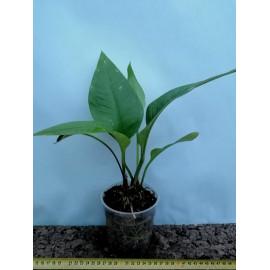 Anthurium palenquense