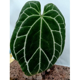 Anthurium Crystallinum
