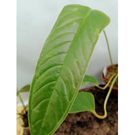 Anthurium furcatum