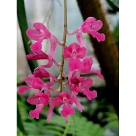 Rodriguezia lanceolata (FS)