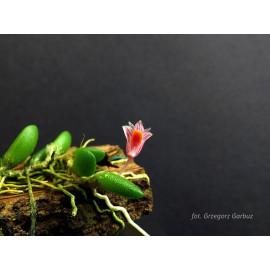 Dendrobium lichenastrum (FS)