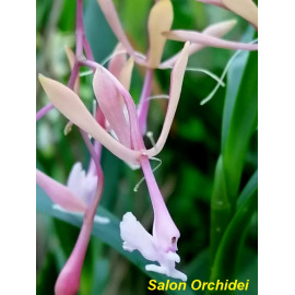 Epidendrum capricornu (FS)