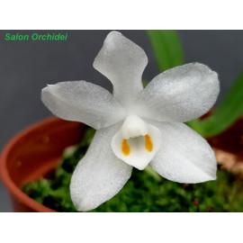 Amesiella minor (FS)
