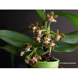 Gastrochilus acutifolius (FS)