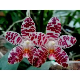 Phalaenopsis David Lim...