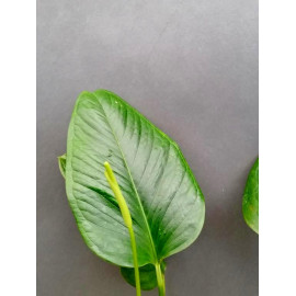 Anthurium oxycarpum