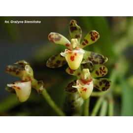 Gastrochilus calceolaris (FS)