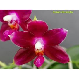 Phalaenopsis Red Land Spot...