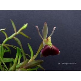 Epidendrum porpax (NFS)