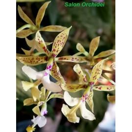 Epidendrum stamfordianum (NFS)