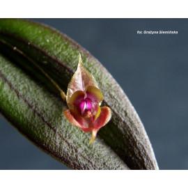 Lepanthes gargoyla (FS)