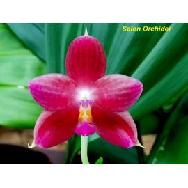 Phalaenopsis javanica x...