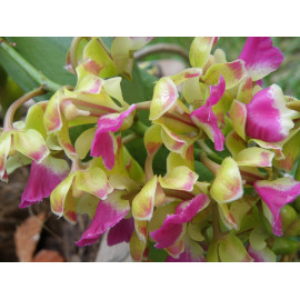 Aerides houlletiana (FS)