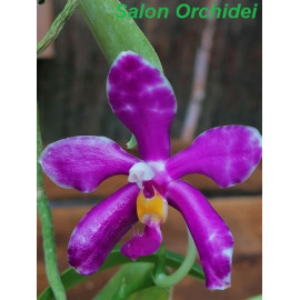 Phalaenopsis pulchra  (FS)