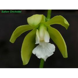 Encyclia tampensis f. alba...