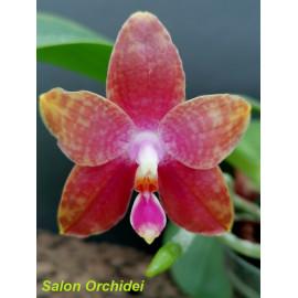 Phalaenopsis Jongs Gigan...