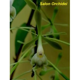 Epidendrum multiforme x...