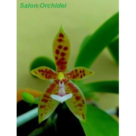 Phalaenopsis cornu-cervi (FS)