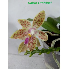 Phalaenopsis KTC Khao...