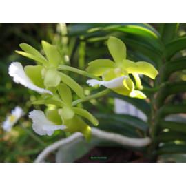 Vanda (Christensonia)...