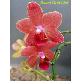 Phalaenopsis Mrs. Brown (FS)