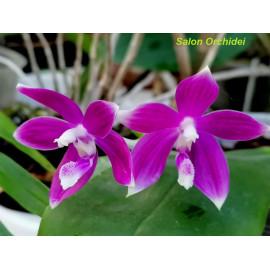 Phalaenopsis speciosa Miki...