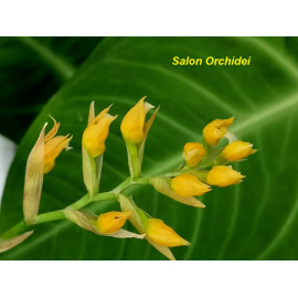 Brachtia andina (FS)