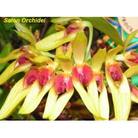 Bulbophyllum graveolens (FS)