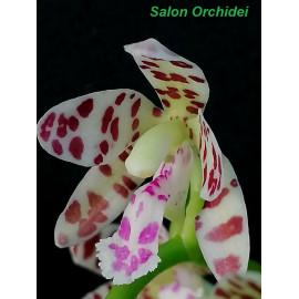 Phalaenopsis Senne Mandy...