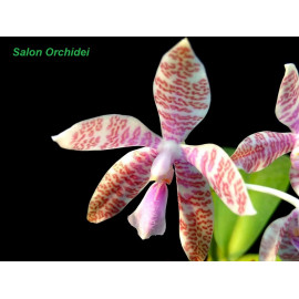 Phalaenopsis hieroglyphica...