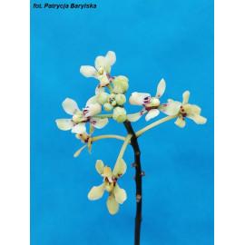 Pomatocalpa bicolor (FS)