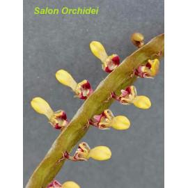 Bulbophyllum falcatum 'NC'...