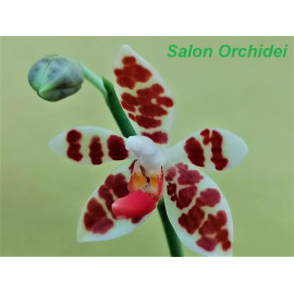 Phalaenopsis maculata (FS)