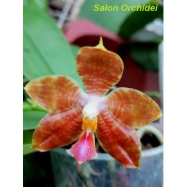 Phalaenopsis corningiana x...