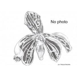 Phalaenopsis speciosa...