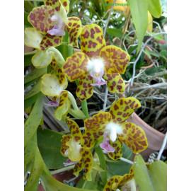 Phalaenopsis hygrochila (NFS)