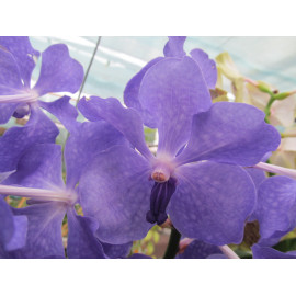 Vanda New Blue (FS)
