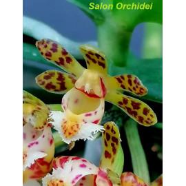 Gastrochilus sororius (FS)