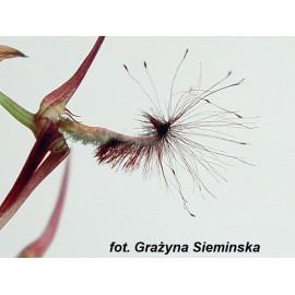 Bulbophyllum barbigerum (FS)