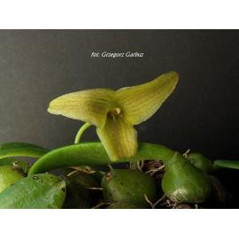 Trias (Bulbophyllum)...