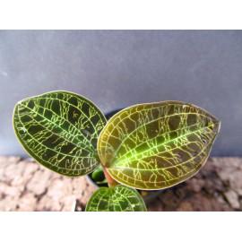 Macodes petola 'Gold' (FS)