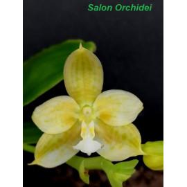 Phalaenopsis Lyndon Waltz (FS)