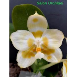 Phalaenopsis Yaphon Galacea...