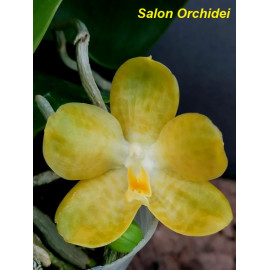 Phalaenopsis Lyndon Emerald...