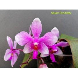 Phalaenopsis philippinensis...