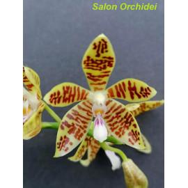 Phalaenopsis tetraspis x...