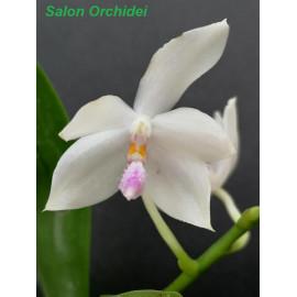 Phalaenopsis floresensis...