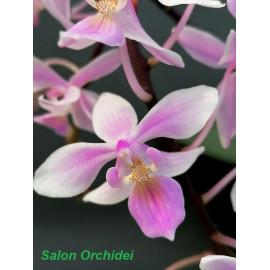 Phalaenopsis Venus...