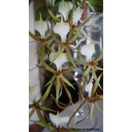 Plectrelminthus caudatus (NFS)
